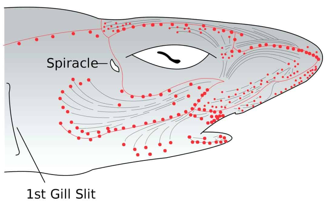 Shark head diagram