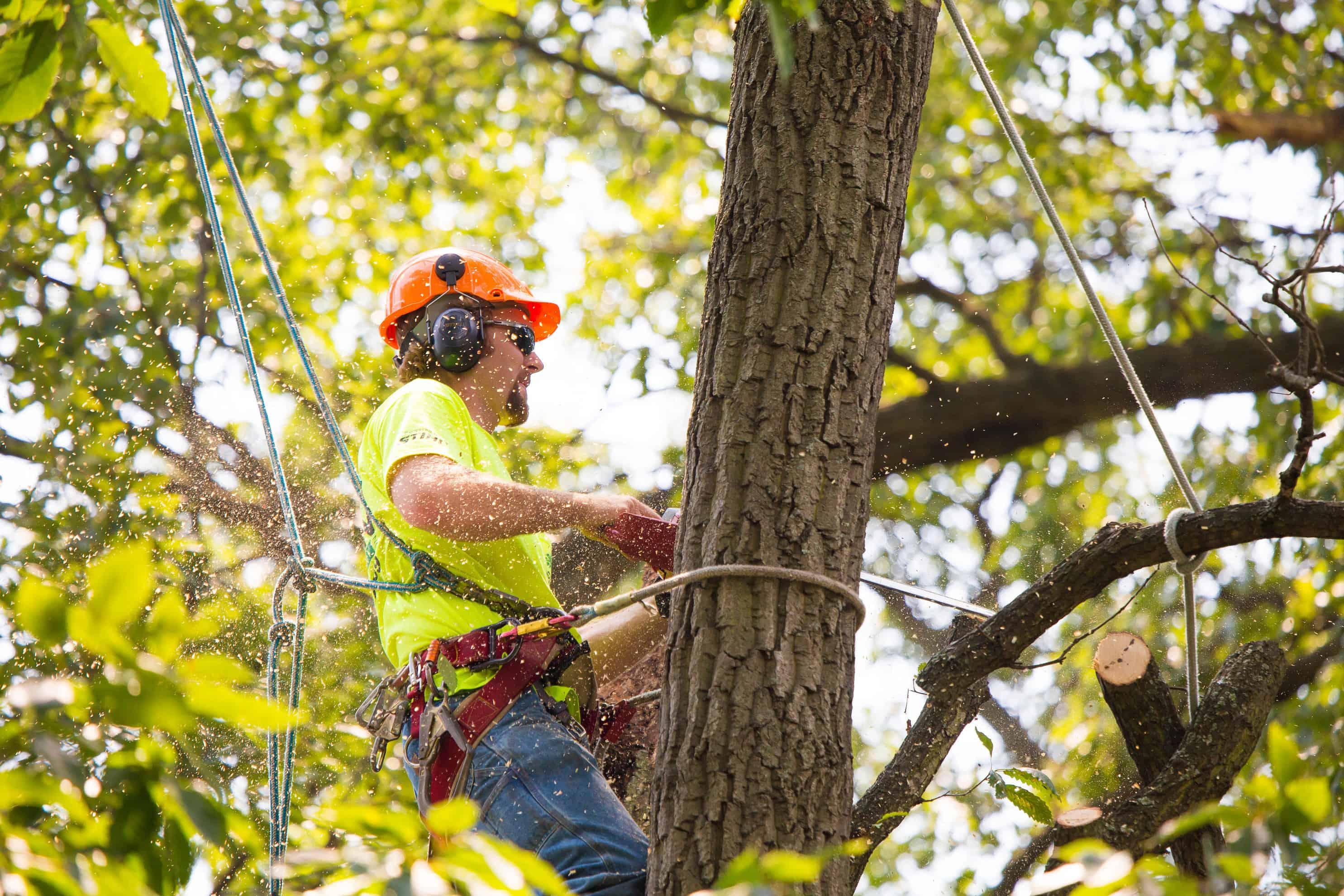 Arborist in Hard Hat Using Chainsaw on Tree